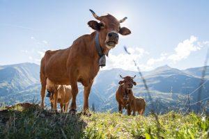 vaches laitières à valloire