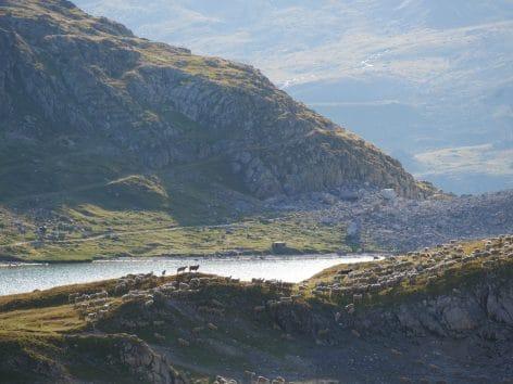 Moutons au Col des Cerces